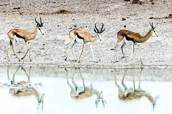 Springboks at Etosha Park