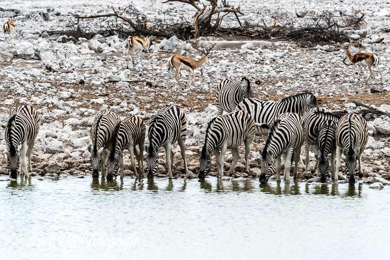 Zedbras at Etosha