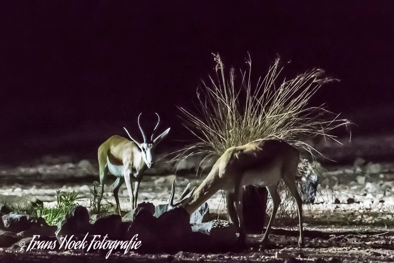 Night picture of springboks at a spring in Sesriem, Namibia