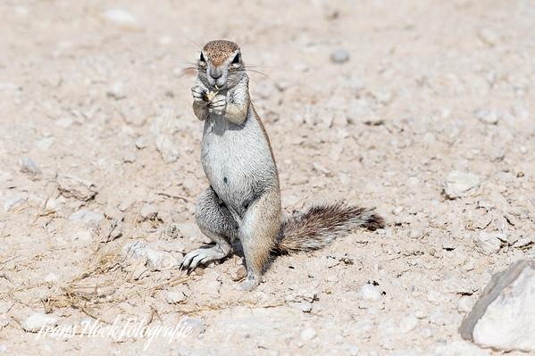 Grond squirrel at Etosha