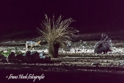 Night picture of a porcupine and a Hyena at a spring in Sesriem, Namibia