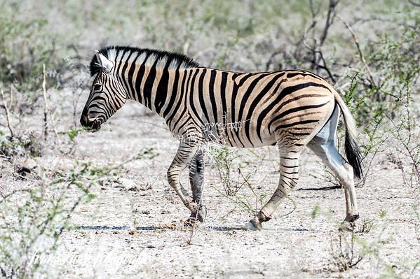 Zebra at Etosha Park