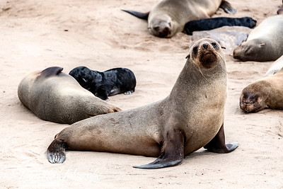 Fur seals at Cape Cross, Namibia