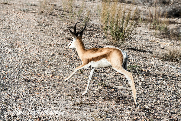 Springbok at Etosha Park