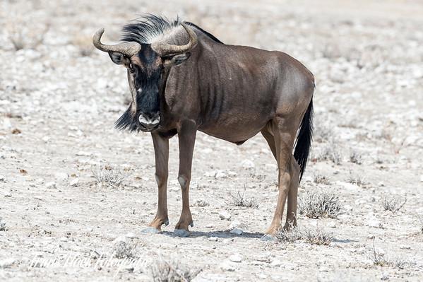 Blue wildebeest at Etosha Park