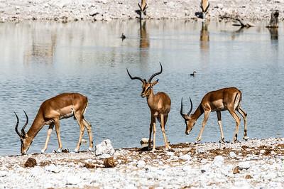 Blackfaced Impalas at Etosha Park