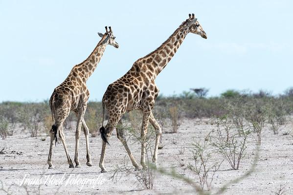 Giraffes at Etosha Park