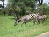 Kruger Nat'l Park - nice stripes