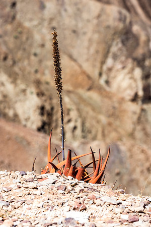 Agave at the border of Fish River Canyon