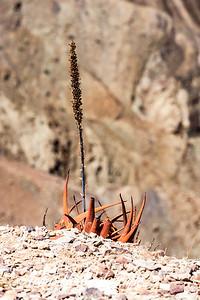 Agave at the border of Fish River Canyon