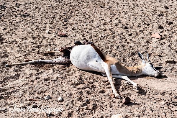 Springbok killed by a Cheetah