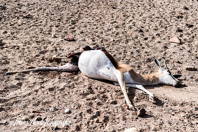 Springbok killed by a Cheetah