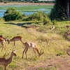 Impala Grazing Along the Chobe River in Botswana