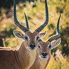Red Lechwe in Chobe NP, Botswana - Closeup