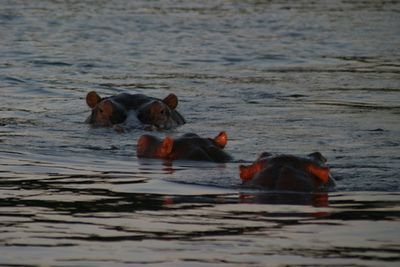 Zambezi River (Zambia/Zimbabwe border), hippo pools