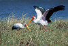 Yellow-billed Storks in Chobe National Park