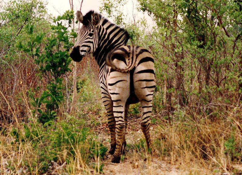 Zimbabwe zebra.