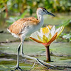 Juvenile Jacana Tiptoing Over the Lily Pads, Kafue NP, Zambia