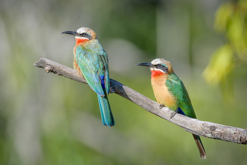 White-fronted Bee-eaters in Kafue NP, Zambia