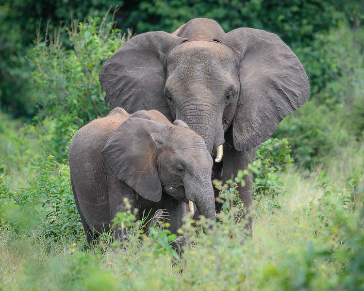 Adult and Juvenile African Elephants in Chobe NP, Botswana
