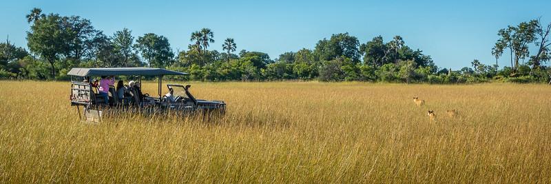 Tracking Lions in the Okavango Delta, Botswana