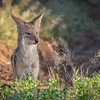 Black-backed Jackal in Chobe NP, Botswana