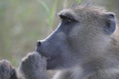 Baboon, Krugar Park, South Africa