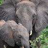 Adult and Juvenile African Elephants in Chobe NP, Botswana - Close Crop