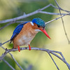 Malachite Kingfisher in  Kafue NP, Zambia
