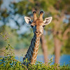 Giraffe Gazing and Grazing in Chobe NP, Botswana