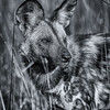 African Painted Dog in the Okavango Delta, Botswana - B&W Conversion
