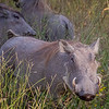 Warthogs in Hwange NP, Zimbabwe