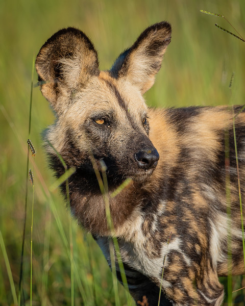 African Painted Dog in the Okavango Delta, Botswana