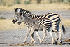 Zebra and foal, Gomoti Concession, Botswana