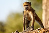 A young Chacma (Savanna) Baboon in Linyanti Concession