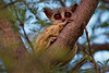 "A ""Bushbaby"" (a Southern Lesser Galago) in Gomoti Concession, Botswana"