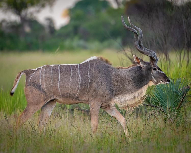 Adult Kudu, Okavango Delta, Botswana