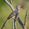 Red-billed Hornbill in Chobe NP, Botswana