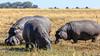Hippopotamuses grazing by the side of the Zambezi River