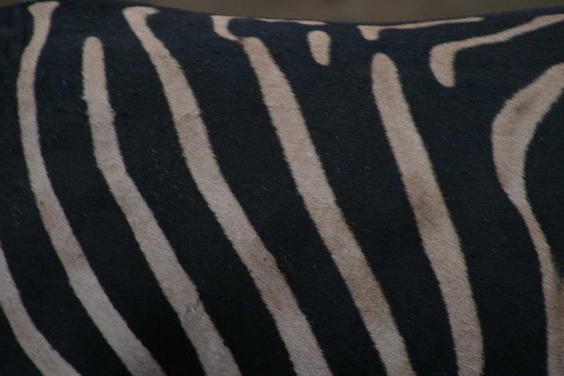 Zebra hide, detail
