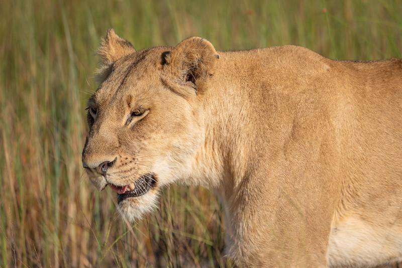 Lioness in the Okavango Delta, Botswana