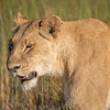 Lioness in the Okavango Delta, Botswana