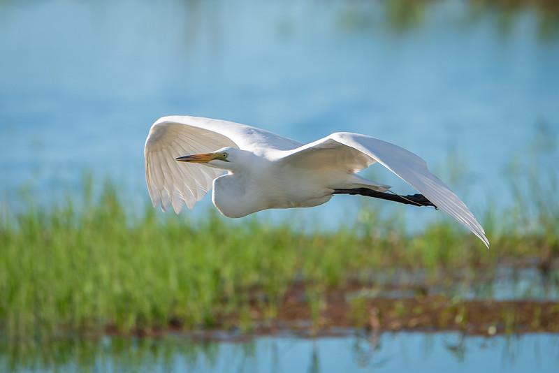 Great Egret in Flight over the Chobe River in Botswana