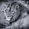 Male Lion in Kafue NP, Zambia - B&W Conversion