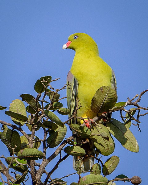 African Green Pigeon in Kafue NP, Zambia