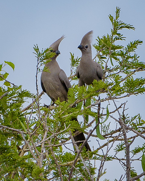 Grey Louries (go-away-birds) in Kafue NP, Zambia
