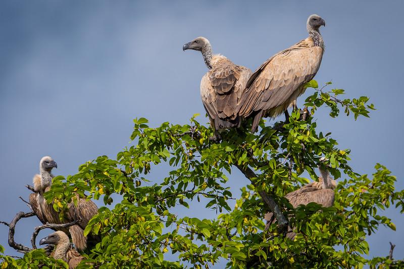 White-backed Vultures in Hwange NP, Zimbabwe