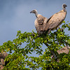 White-backed Vultures in Hwange NP, Zimbabwe