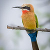 White-fronted Bee-eater in Chobe NP, Botswana