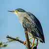 Green-backed Heron in Kafue NP, Zambia